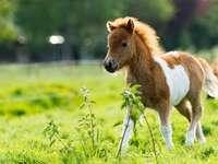 ló borjú