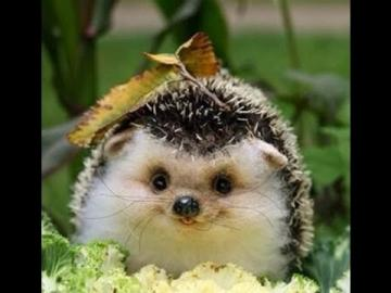 baby hedgehog - laughing baby hedgehog