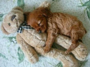 puppy is sleeping - puppy on bed with teddy