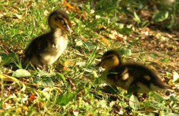 baby ducks - Baby ducks in the grass at the lake