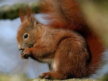 squirrel - squirrel nibbles on nut