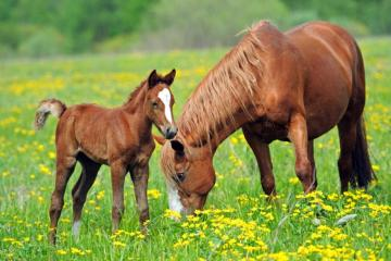 horse calf - Horse calf with mother on meadow