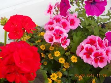 Ukwiecony balkon - Kwiatki z mojej rabatki