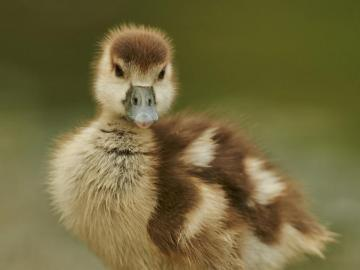duckling - baby from a fairy tale andsen