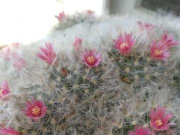 kwitnący kaktus - kłuje, ale pieknie percepcja