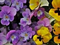 Kleurrijke viooltjes