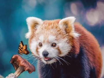 Red Panda spotyka Butterfly - Czerwona Panda spotyka motyla