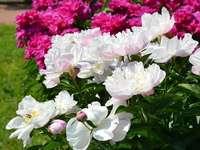 Peonies. - Peonies in my garden.