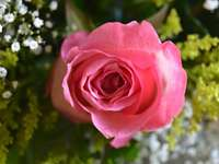 beautiful roses for a nice puzzle - puzzling up my beautiful rose-picture taken by me