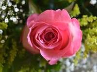 красиви рози за хубав пъзел - Мисля за красивата си рисунка с рози, направена от мен