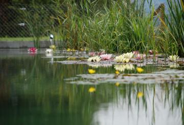 A pond in the summer - Pond is also flowers and other plants.