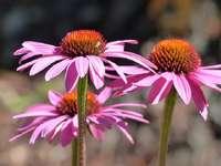 Echinacea. - Flores perenes de Echinacea.