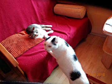 Pierwsze spotkanie - Kotki nawiązują bliższą znajomość