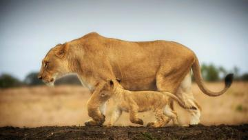 lioness and lion cub - sweet picture of a lioness with a small lion cub