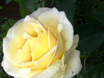 beautiful rose - beautiful rose in the sunshine