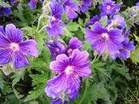 geraniu comun - Geraniul crește în grădina mea