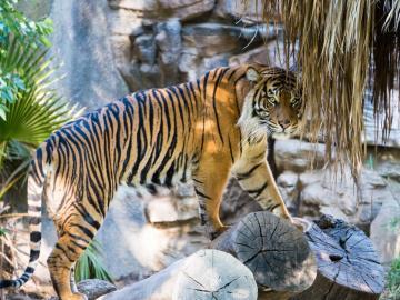 Niesamowity tygrys - Tygrys w swoim naturalnym środowisku, Azja