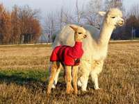 cute little alpacas - puzzle showing two alpacas.