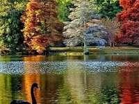 Zwarte zwaan - Black Swan in de herfst