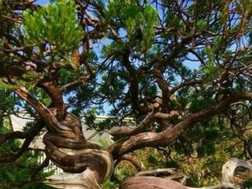 big tree - giant tropical tree