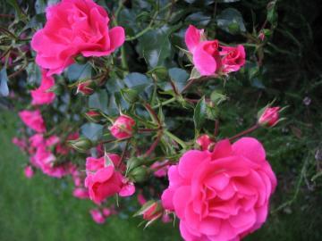J'aime les roses sous n'importe quelle forme  - Uwiebiam róże w każdej postaci