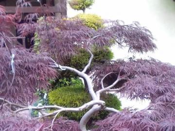 klonik - inne barwy - klonik japoński - inne barwy w ciągu roku