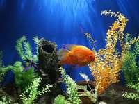Peixe dourado incrível
