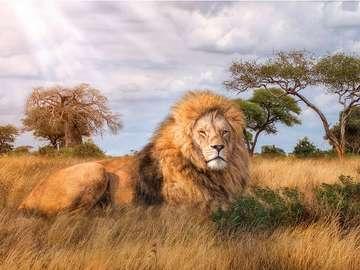 Savannah King. - Jigsaw puzzle. Animals: lion.
