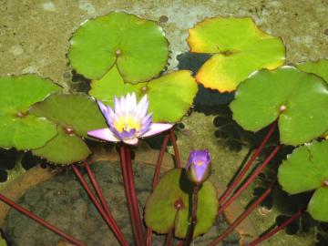 Flowers on the pond. - Lilies, leaves and flowers on the pond.