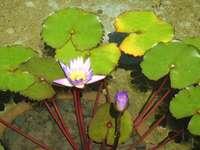 Flores na lagoa.