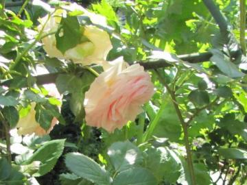 florets - fragrant rubella ....