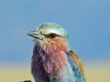 Oiseau Kraska à poitrine lilas - Puzzle en ligne Birds. Des puzzles colorés. L'oiseau Kraska à poitrine lilas est une espèce