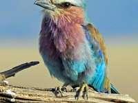 Pássaro kraska de peito lilás
