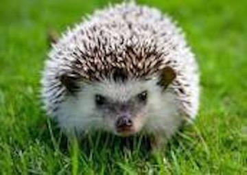 HEDGEHOG - reproduce the puzzle