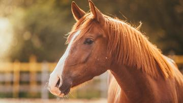 horse in the nature - close-up photo of a brown horse