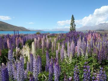 Filet Feld voller Blumen - Naturrätsel, Landschaftenrätsel. Ein ganzes Feld lila Blüten. Wunderschönes Landschaftspuzzle