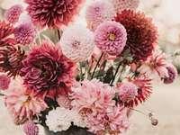 Flores asteráceas - Flores rosadas de la familia Asteraceae. Crisantemos rosados. Rompecabezas de flores.