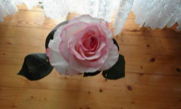 pink rose - we have a birthday rose for 90 years