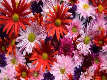 Autumn asters. - Autumn asters.
