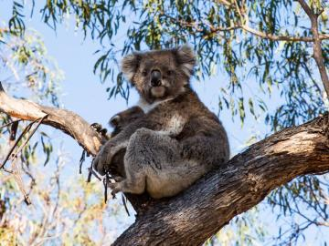 Koala Visitvictoria.com - Koala in the wild