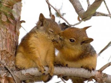wiewiórka - przytulanie dwóch wiewiórek