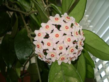 my hoja - Hoja is the most wonderful flower