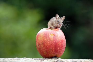 sweet mouse on an apple - a sweet mouse on an apple sweet mouse on apple sweet mouse on apple