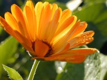 Blume2001 - Piękny letni kwiatek