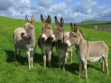 Donkey_esl - Osioł dla dzieci do nauki