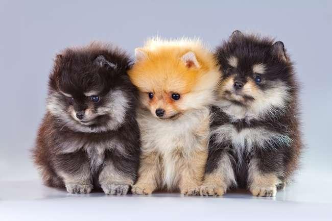 """tres perritos - puzzle o nazwie """"pieski najpiekniejsze psy świata puszki12 (16×11)"""