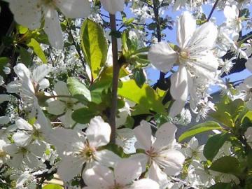 Wiśnioczereśnia - Der Frühling ist lange hinter uns, ebenso wie der Sommer. Am Novemberabend ist es schön, sich dara