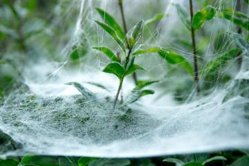 cobweb on leaves - spider web on leaves - photo from pixabay.com (CC license)