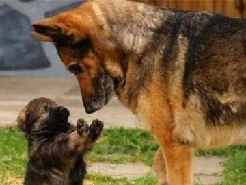 Dog and dog. - Jigsaw puzzle. Pets. Dog and dog.