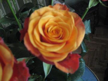 einzelne Rose - eine Rose aus einem Strauß